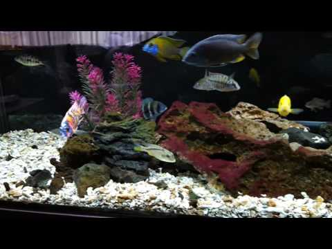 African Cichlids - 5 Reasons Why You SHOULD NOT Get Into This Hobby!