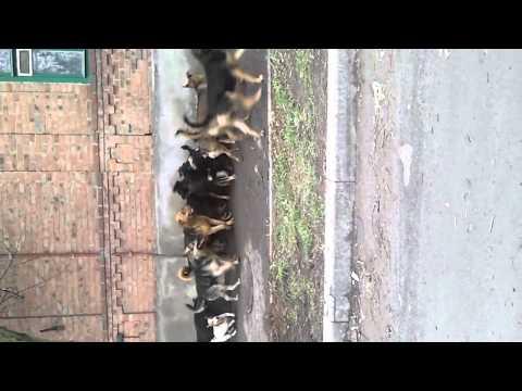 видео: Собаки и шокер