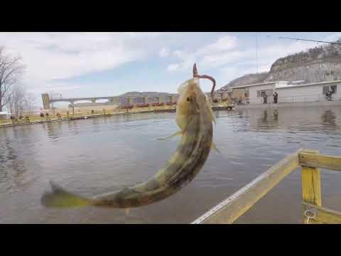 Jumbo Perch - Clements Fishing Barge