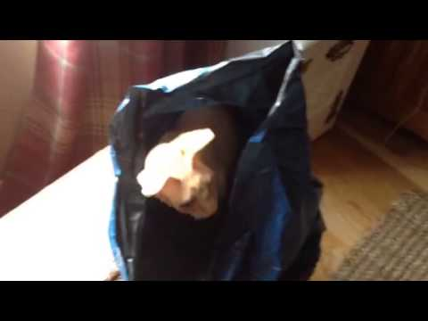 Sphynx cat in a bag