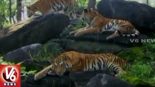 3 Tigers Goes Missing From Kurnool Dist's Athmakur Forest Sanctuary   V6 News