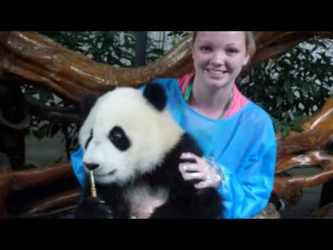 Cute Baby Panda Cuddles At Chengdu Panda Centre   CHINA