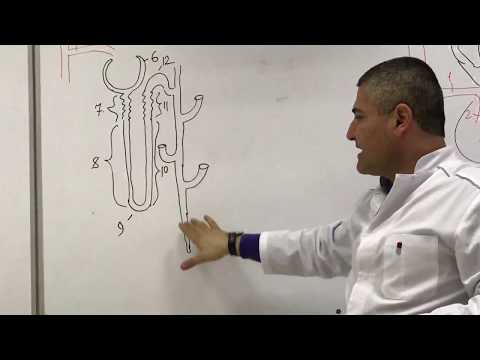 Анатомия почки. Строение нефрона. Kidney anatomy. Nephron structure