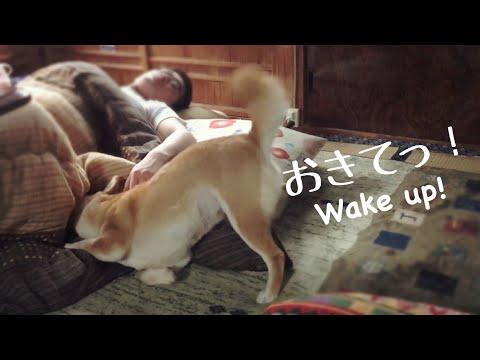 パパを起こしてって頼まれたのにパパに寝返る柴犬 Let dad up!