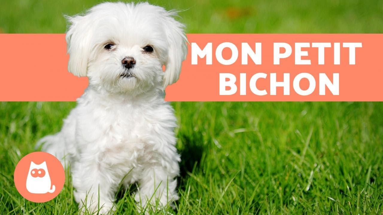 Bichon Maltais Caractere Soins Education Youtube