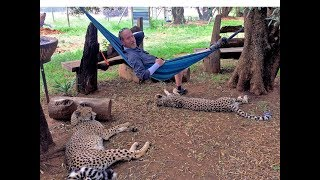 Belly Rubbing An African Cheetah   Big Cat Responds To Petting In Amazing Feline Mother Way