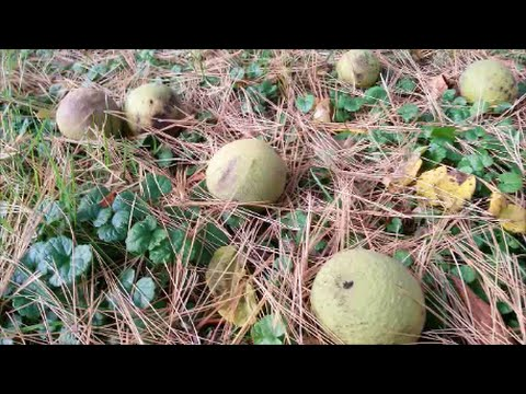 How to Harvest Black Walnuts