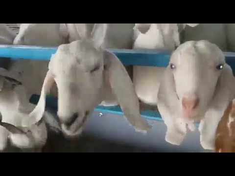 Jay Bhavani Goat Farm Pune