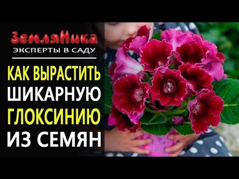 Как вырастить глоксинию из семян, посев в грунт. Уход за глоксинией. Комнатные цветы.
