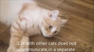 Большой кот Кузя эгоист. Домашние кошки.