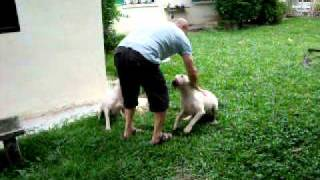 Best Bull Terriers In Malaysia - Having Fun.