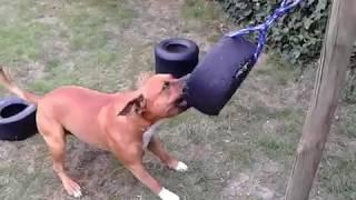 hondjes aan het spelen ...dogs playing ...