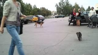 Кошка напала на собаку.mp4