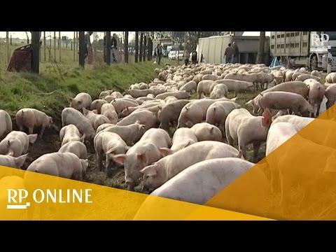 Kalkar: Hunderte Schweine laufen nach Transporterunfall auf der Straße