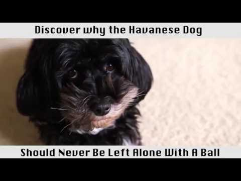 The Havanese Dog - This breed of dog is amazing!