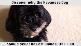 The Havanese Dog  This breed of dog is amazing!