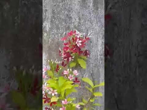 Madhu malati flowers at Sadhana Organic Nature Gardens