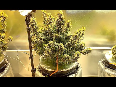 Autoflower Cannabis Plant in DWC – Late Flower (Auto Grow 3)