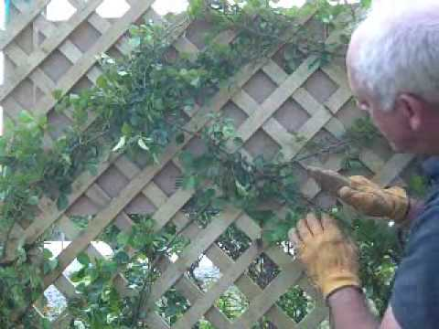 Training A Rose On A Trellis Youtube