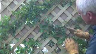 Training A Rose On A Trellis
