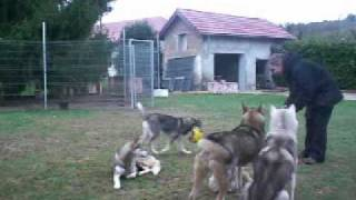 Education And Training Of A Siberian Husky Pack