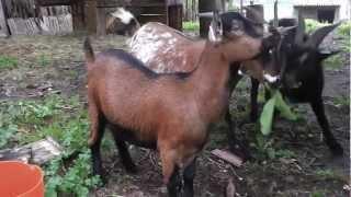 Holandské zakrslé kozy
