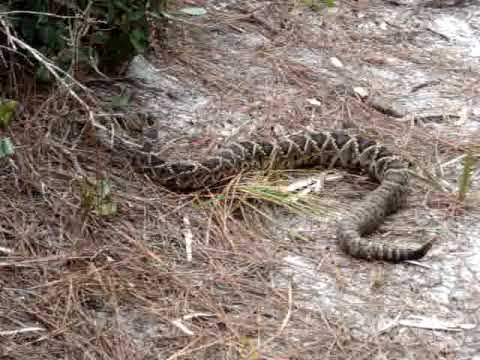 MOV05370 Rattle Snake In St. Josephu0027s Peninsula State Park