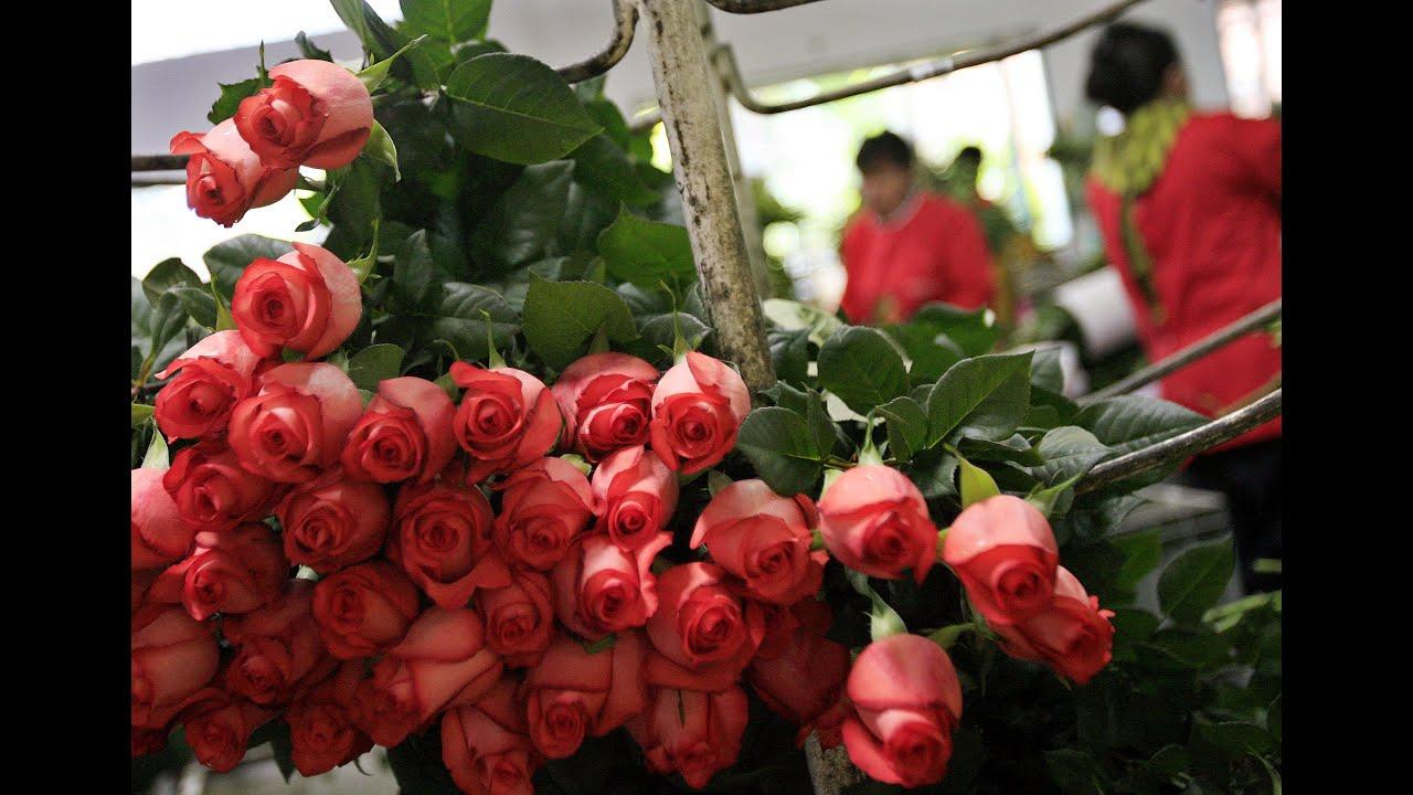 Cultivo De Rosas Para Exportación Tvagro Por Juan Gonzalo Angel