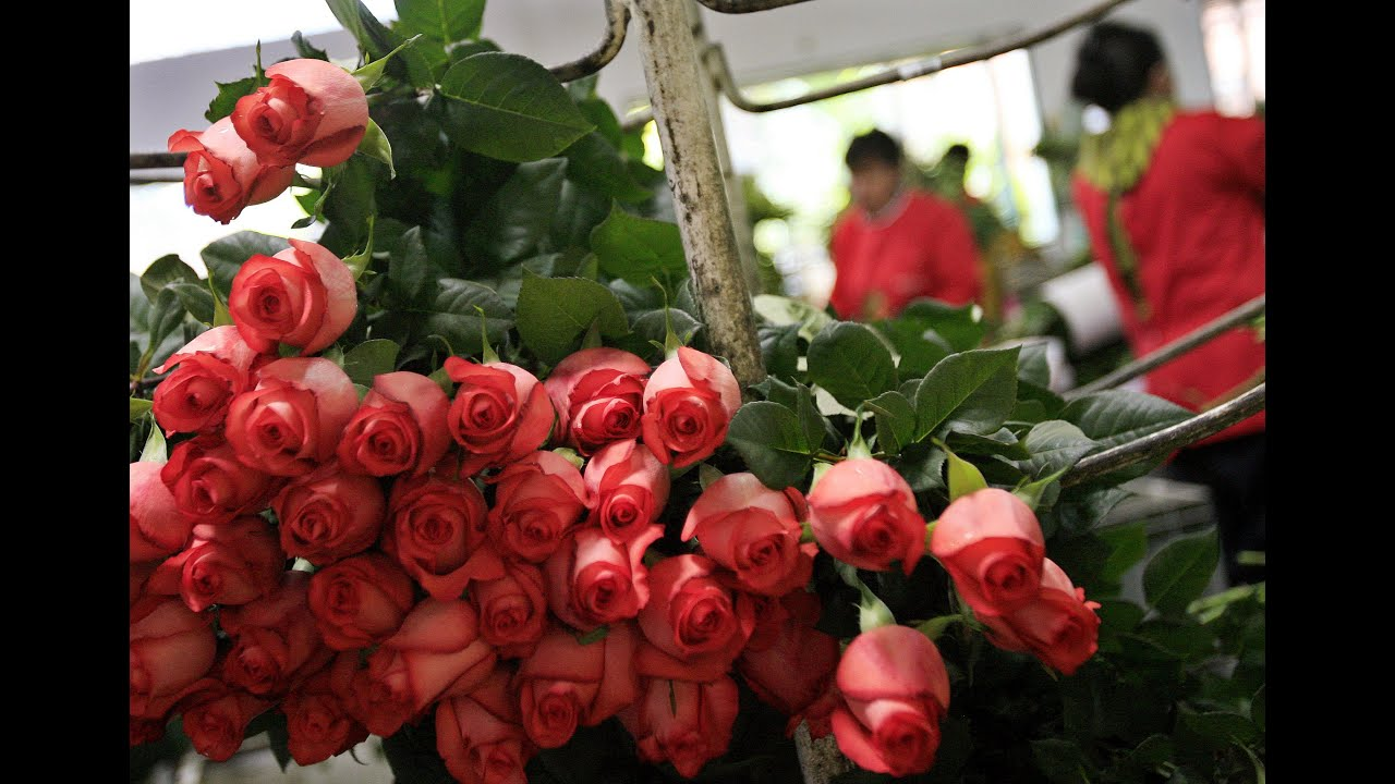 cultivo de rosas para exportacin tvagro por juan gonzalo angel youtube