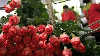 Cultivo de Rosas para Exportación - TvAgro por Juan Gonzalo...