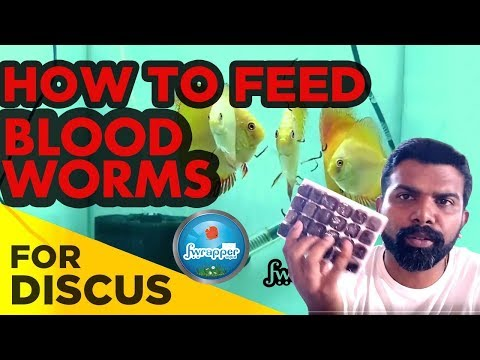 How To Feed Frozen Blood Worms | Discus Fish Food