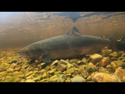River Carron Salmon 2020