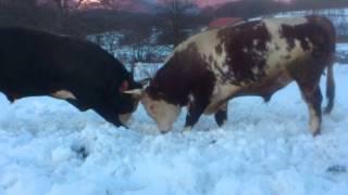 Repeat youtube video Brizan(Mujo)-Saronja(Edin) VLASINJE 20.2.2015