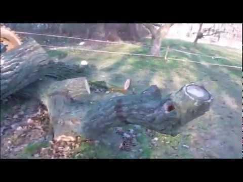 #Старое #дерево #в  #Саксонском #саду   #2