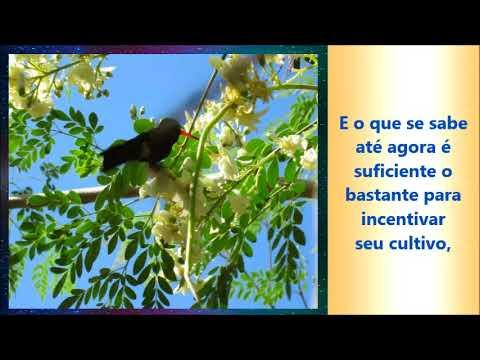 moringa,moringa oleifera,moringa beneficios,cha de moringa,moringa planta,moringa oleifera beneficios,beneficios da moringa,moringa para que serve,arvore da vida,folhas de moringa,moringa oleifera arvore,moringa planta medicinal,o que é moringa