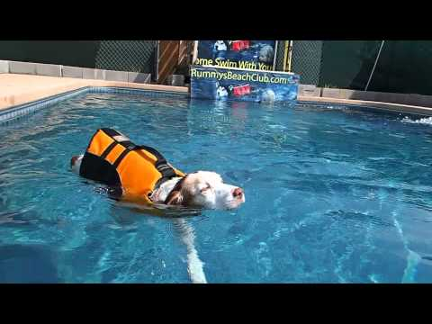 15 year old Brittany Dog, Penny, Loves to Swim around & around in the swimming pool
