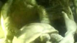 Tortoise Porn (Mating at London Zoo)