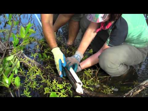 What Lies Beneath: Using Mangrove Peat to Study Ancient Coastal Environments and Sea-Level Rise