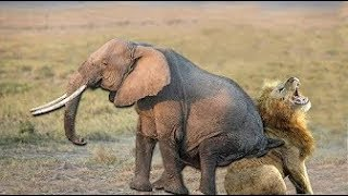 Elephant Save Baby Elephant From Lion Hunting   Animals Hunting Fail