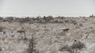 Coyote killing contest ban brings out both sides