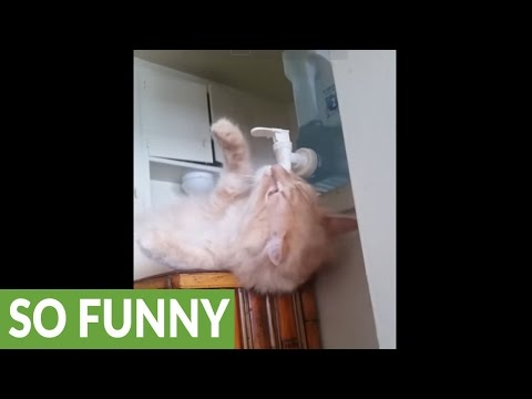 Genius cat drinks casually from water cooler