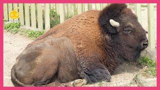 食事中のアメリカバイソン 東武動物公園 Bison bison