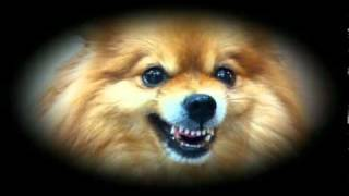 Agent T The Pomeranian In Mission Impawsible Ii.avi