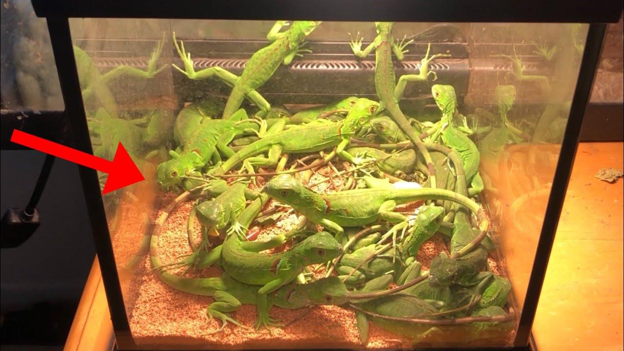 Making the Worlds Smallest Iguana Enclosure!