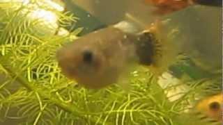 Болезни рыб. Ихтиофтириоз.