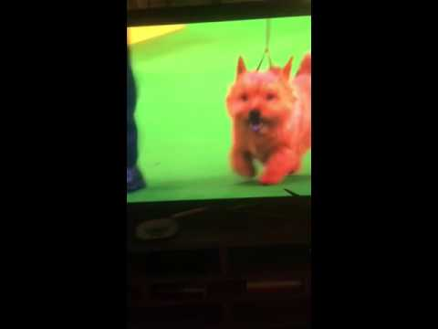 Westminster Dog Show Norwich Terriers