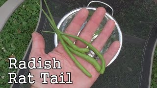 Radish Rat Tail Plants: Seed Pods from a Plants Variety Ordered Through Botanical Interests