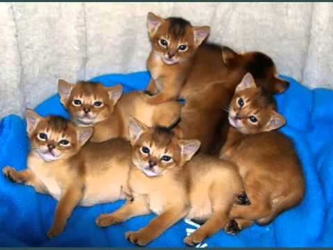 Abyssinian Cat | Pictures Of Cat Breed
