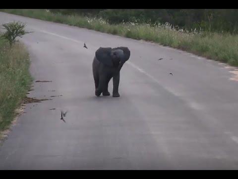 คลิปน่ารัก!ช้างน้อยวิ่งไล่จับฝูงนกนางแอ่น