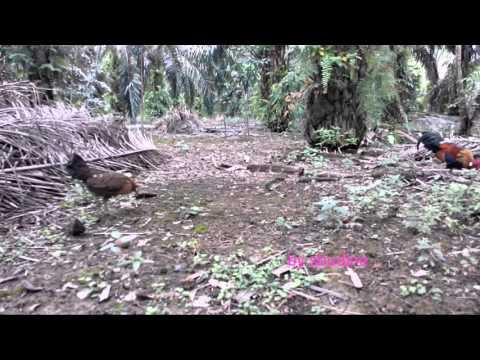 Ayam Hutan Pikat Betina 61